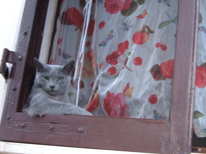 Gatti blu di russia archangel 39 sk allevamento amatoriale - Affacciati alla finestra amore mio ...