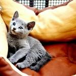 Cuccioli Blu di Russia Archangel'sk - 2012