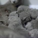 Cuccioli-Samba-Lord4