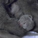 Cuccioli-Samba-Lord5